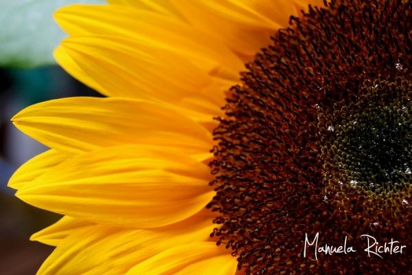 sun sunflower garden yellow summer holidays floral