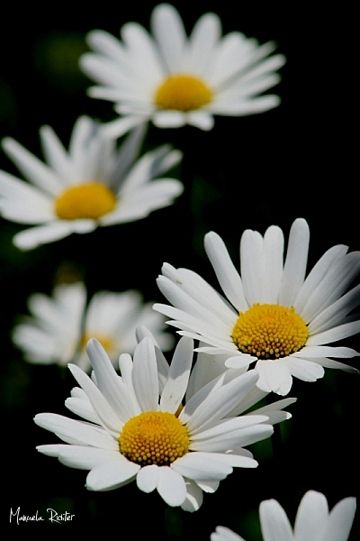flower bloom marguerite field summer