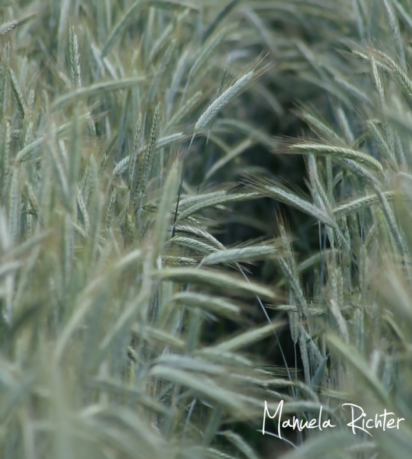 corn tunnel field summer countryside