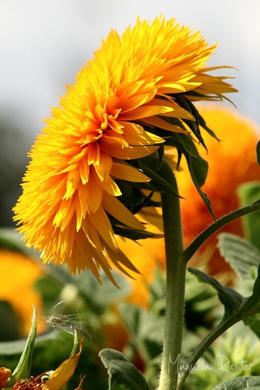 sunflower flower bloom fall yellow summer