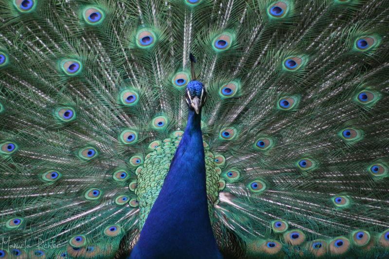 peacock feather blue bird animal spring