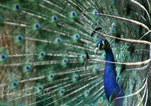 peacock feathers eyes blue bird animal spring