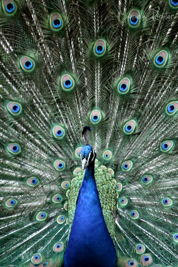peacock feathers eyes blue bird animal spring