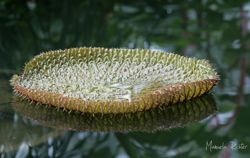 pond waterlily flower bloom reflection leaf