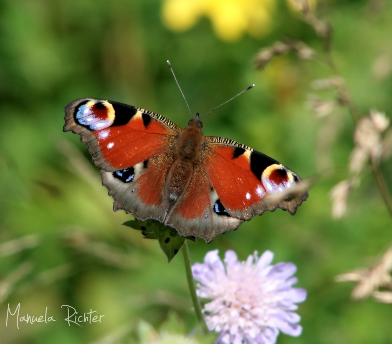 butterfly summer flora fauna field insect