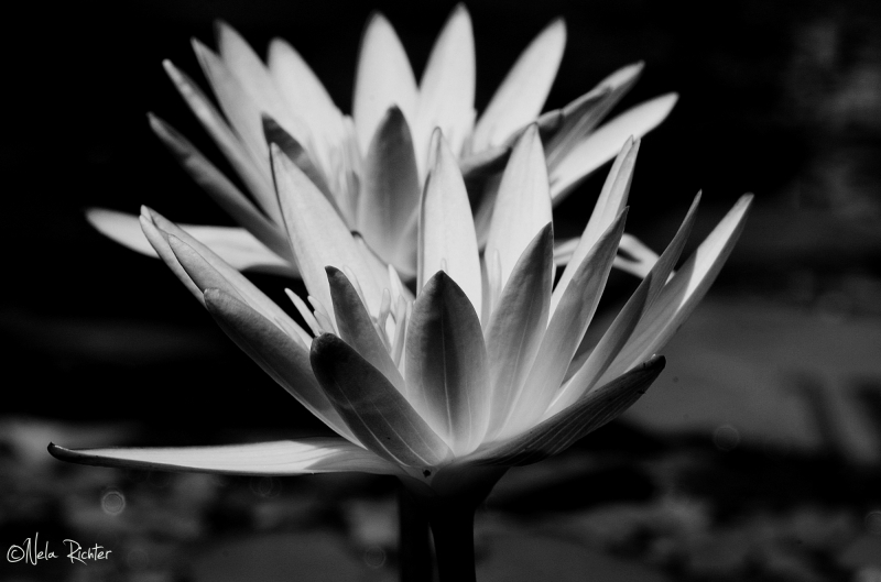 flora bloom waterlily black&white light