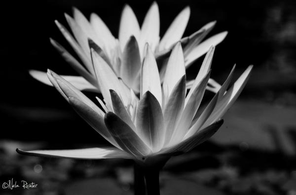 flora bloom waterlily black&white light
