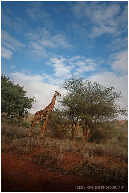 giraffe tsavo national park kenya