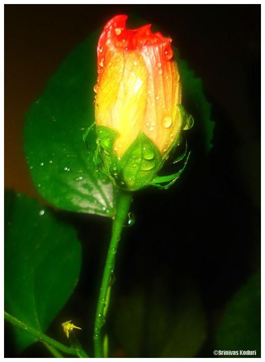 Wet Hibiscus Bud
