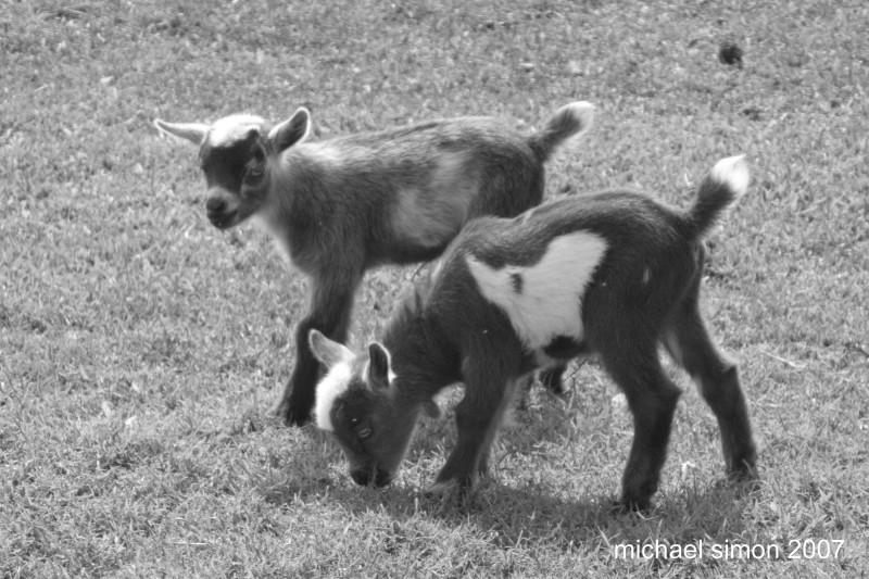 Baby Goats