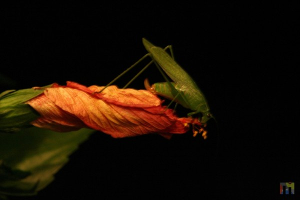A large insect, on a blossoming flower at night.