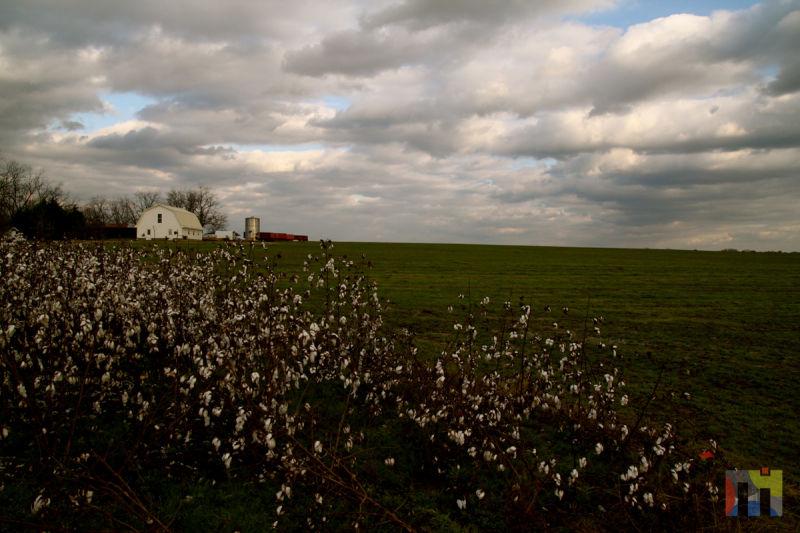 Cotton Field & Barn