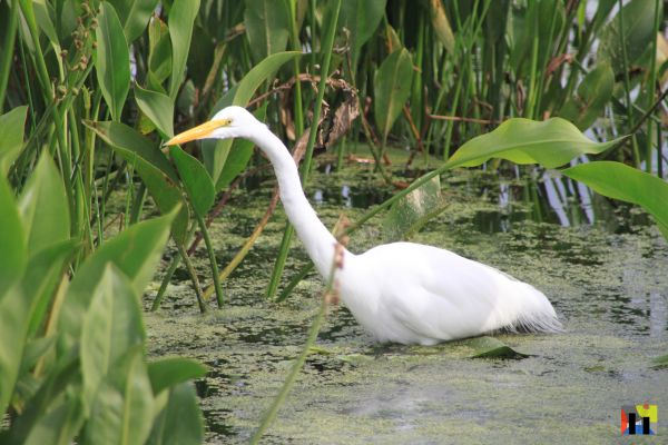 Egret in Green Cay Wetlands