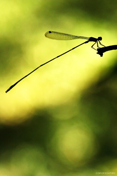 silhouette  dragonfly