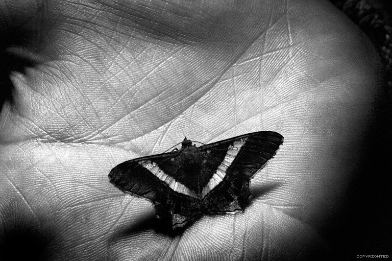 Night Butterfly