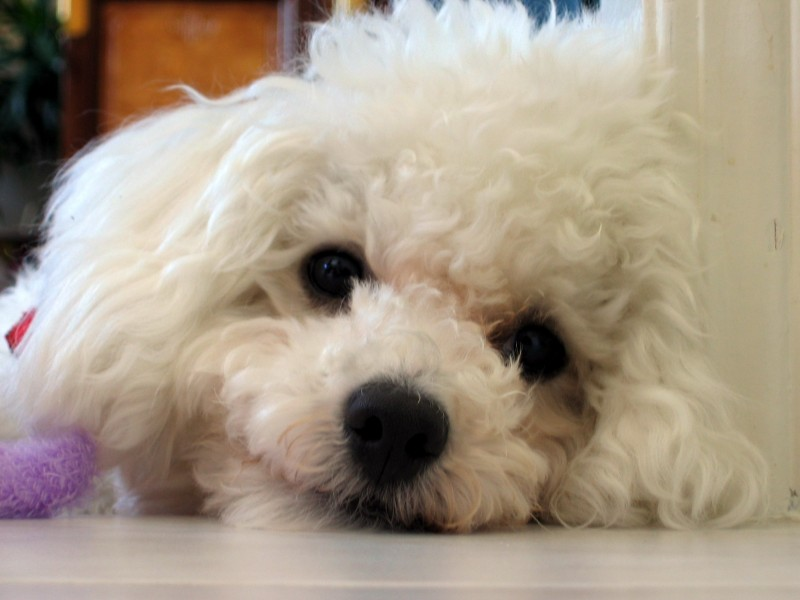 Pepper The Bichon