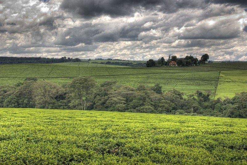 tea plantation near kericho, kenya