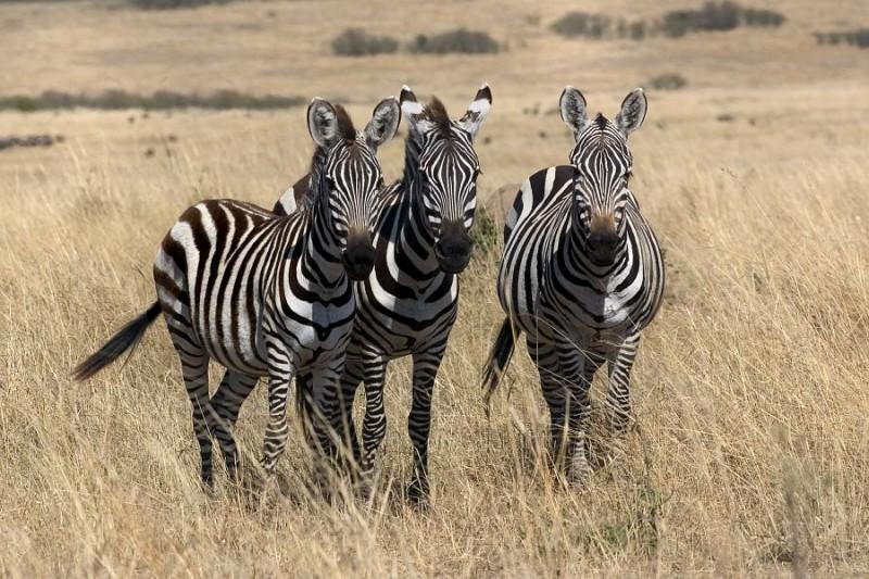 zebra triple