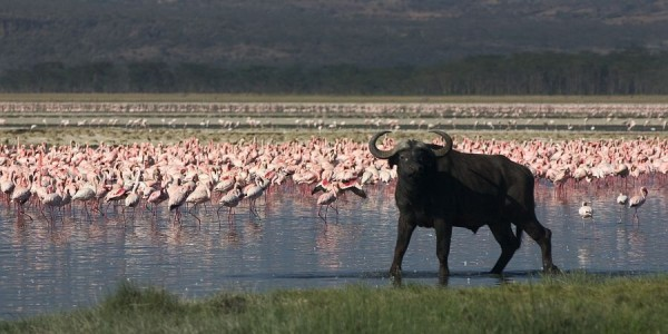 water buffalo flamingo