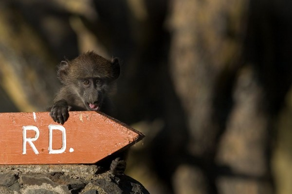 baboon baby monkey