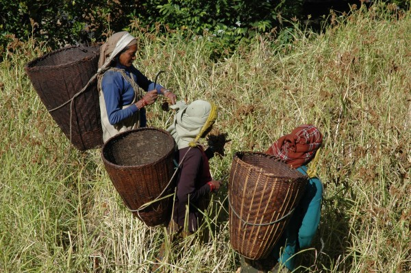 Women harvesting millet in Nepal