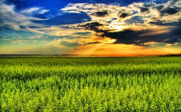A Canola field near Leduc, Alberta
