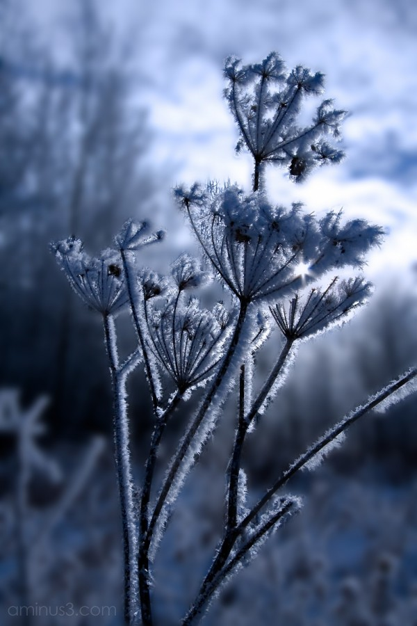 Queen Anne's Lace covered in frost.