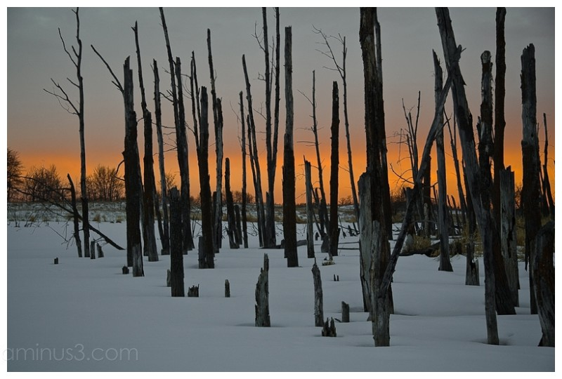 Stand of trees frozen in a bog at sunset