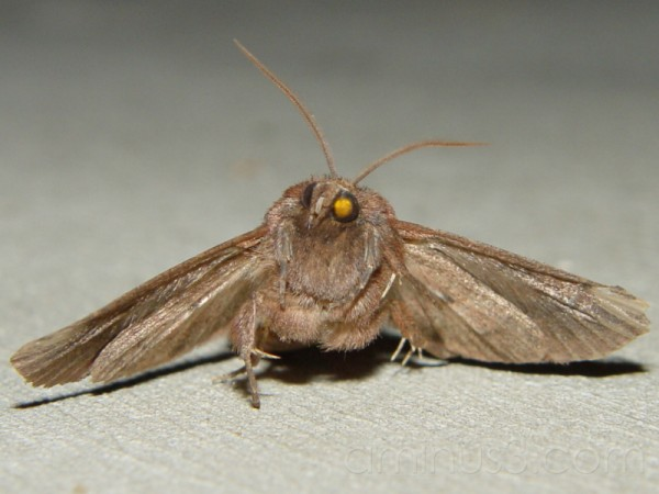 Moth of the Month