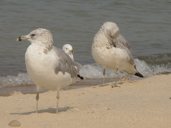 Seagulls at Lake Michigan