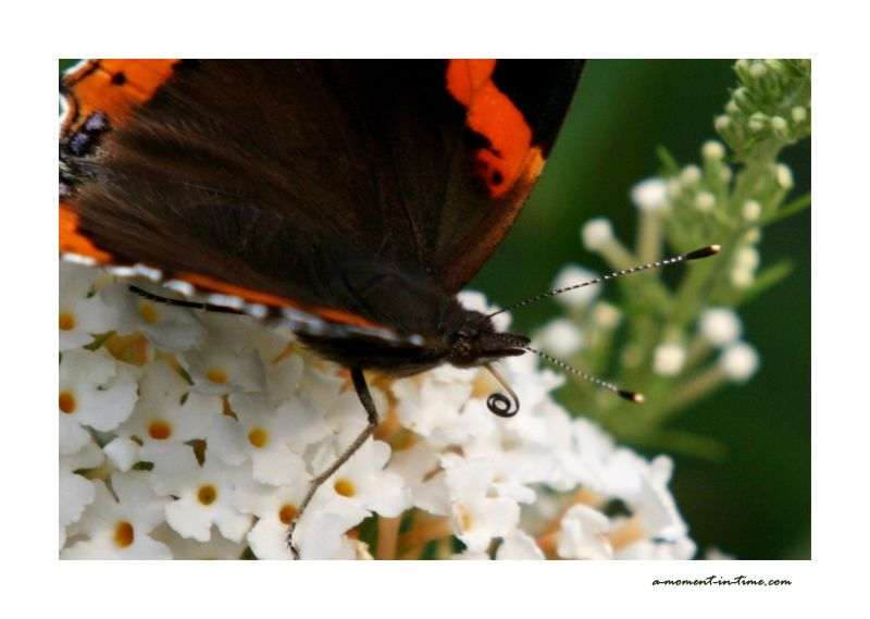 It's a Bug's World (5) - Red Admiral