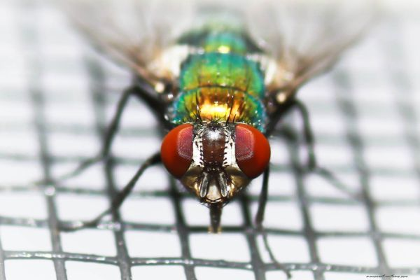 Green Bottle Fly: Red-Eye Flight