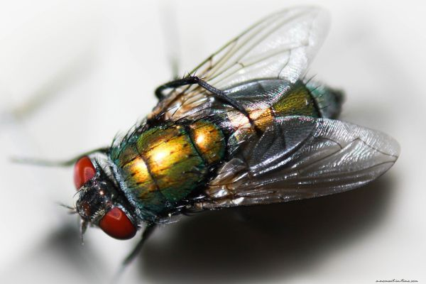 Green Bottle Fly (2)