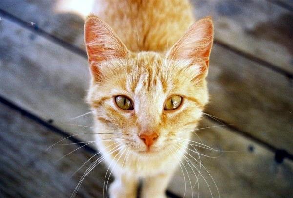 Amish Cat