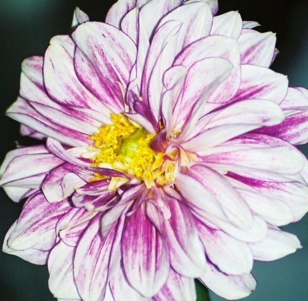 pink & white flower