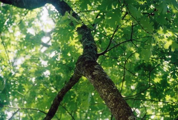 tree greens