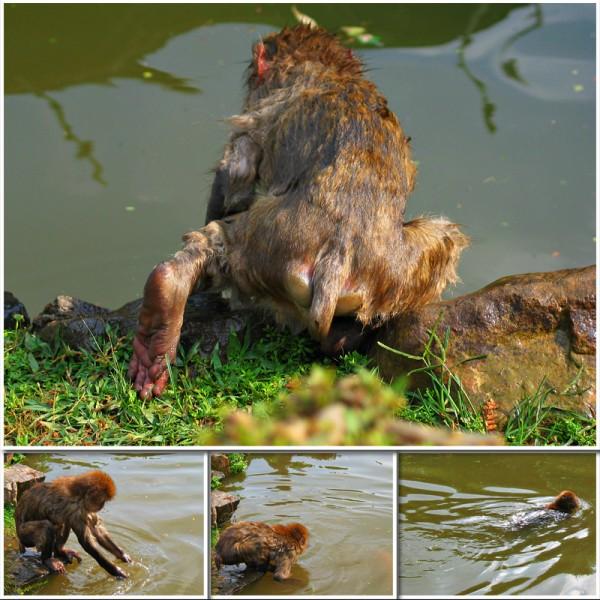 monkey swim