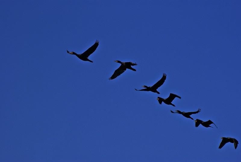 Cormorants Approach