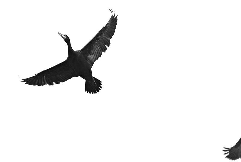 Cormorant Overhead