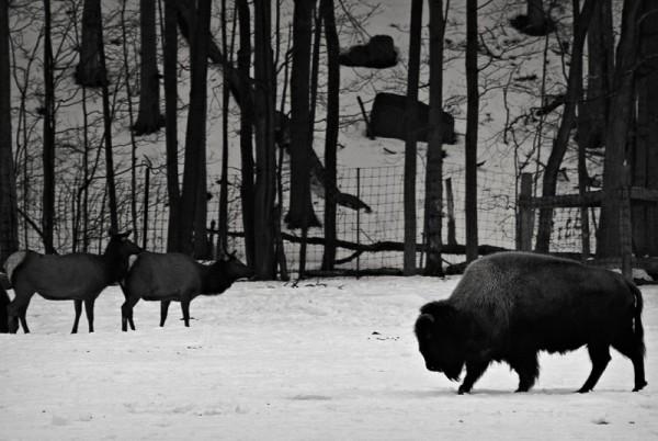 Bison and Elk