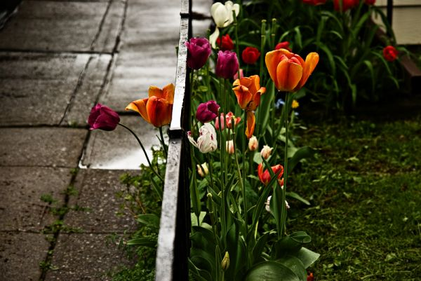 Tulips after the rain
