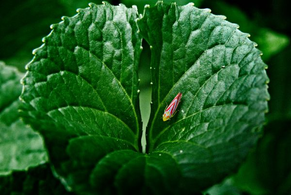 Painted Leafhopper