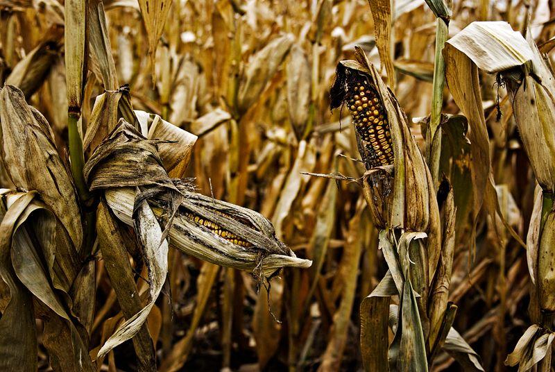Corny Grins