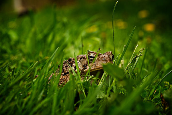 Toad in the grass