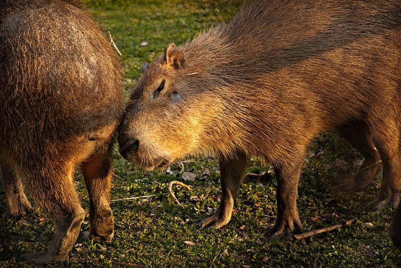 Capybara capers