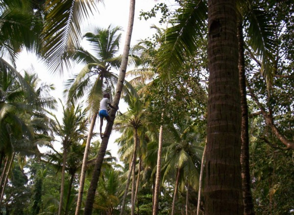 Coconut plucker