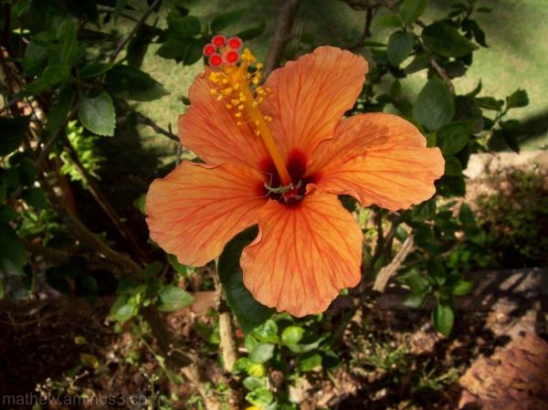 Shoe Flower hibiscus