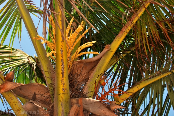 Coconut  tree with flowers