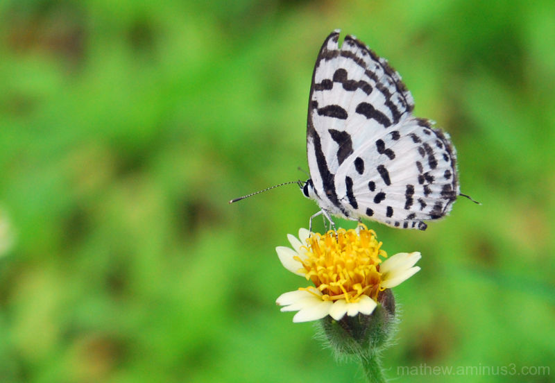 A white butterfly looking for nectar