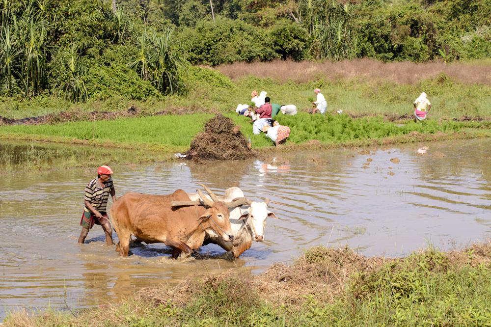 plough rice field Goa